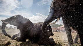 Denmark buys last 4 circus elephants to let them retire