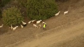 Goats grazing alongside hills in Pasadena to help prevent wildfires
