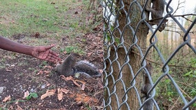 Woman says she was stopped by squirrel, who tugged on her leg and led her to help its injured baby