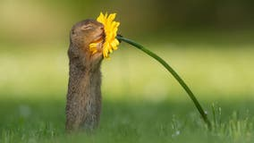 Photographer captures moment 'curious' squirrel stops to smell a flower