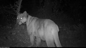 2 mountain lions found dead from rat poison in Santa Monica Mountains