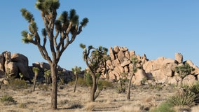 Petition seeks to have California declare Joshua trees as threatened species