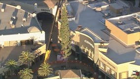 Christmas trees arrive at Citadel Outlets, The Grove shopping center