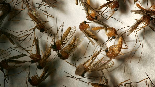 Encephalitis-carrying mosquitoes found in Anaheim, Westminster