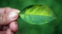 State announces four-county quarantine on citrus plants after disease detected