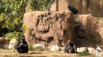 L.A. Zoo anticipates birth of critically endangered western lowland gorilla