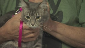 Pet Project:Janis Joplin from Kitty Bungalow Charm School for Wayward Cats
