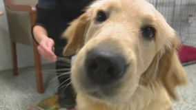 Puppies seized during Sick Puppy Peddler arrest grown up; available for adoption on Saturday