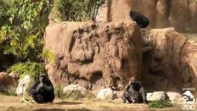 L.A. Zoo anticipates birth of critically endangered western lowland gorilla