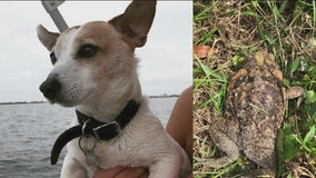 Dog owner issues warning after dog poisoned by bufo toad