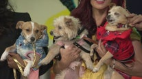 Rescue dogs available for adoption strut their stuff to show off holiday fashions for your pets