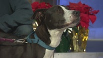 Pet Project: Bella from West LA Animal Shelter