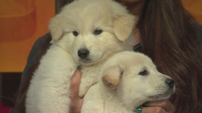 Pet Project: Whittiker and Alaska from Doggie Tahiti