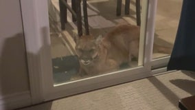 Mountain lion attacks two dogs in Simi Valley