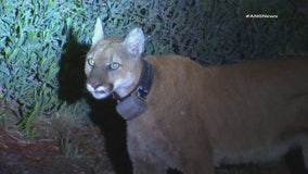 Mountain lion spotted overnight in Simi Valley following deadly dog attack