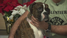 Pet Project: Jean from Boxer Rescue LA