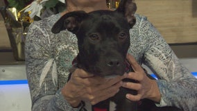 Pet Project: Opal from Labradors & Friends Dog Rescue