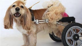 West L.A. dog immobile after wheel cart is stolen from foster family's car