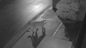 Video shows mountain lion roaming residential street in Tarzana, leaving residents on edge