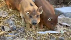 Santa Clarita barn rescues family of pigs who were about to become Christmas dinner