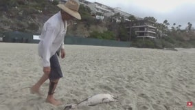 Survivalist causes controversy after eating baby dolphin onLaguna Beach