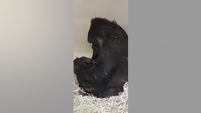 Endangered western lowland gorilla born at Los Angeles Zoo
