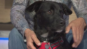 Pet Project: Linus from Labradors and Friends Dog Rescue