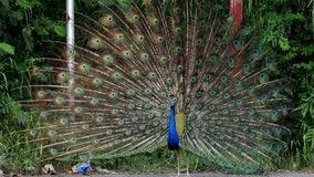 Humane officers investigating peacock death in Rolling Hills Estates