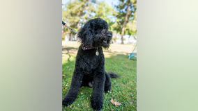 Labradoodle stolen from Sherman Oaks home is reunited with owner