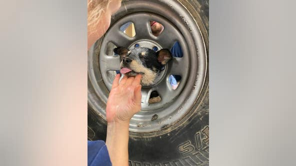 Video: Mischievous 3-month-old puppy rescued after getting head stuck in spare tire in Coachella