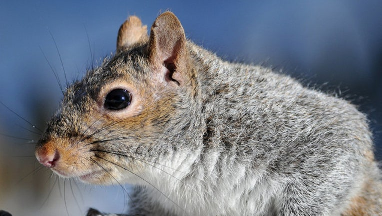 USFWS_GRAY_SQUIRREL_FILE_031419_1552593521813_6892348_ver1.0_640_360.jpg