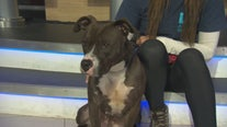 Pet Project: Kandi from West LA Animal Shelter