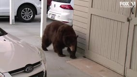 Bear spotted roaming in Monrovia