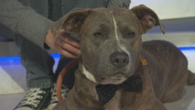 Pet Project: Brad Pitt with NKLA Pet Adoption Center
