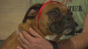 Pet Project: Kobi from Boxer Rescue LA