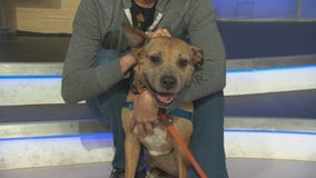 Pet Project: Boxy Brown from NKLA Pet Adoption Center