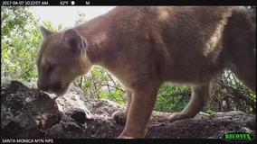 Protection of endangered mountain lions in Southern California urged