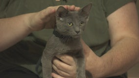 Pet Project: Carlotta from Kitty Bungalow Charm School for Wayward Cats