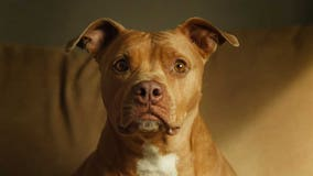 Denver mayor will veto legislation that would have ended the city's ban on pit bulls