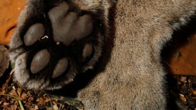 Male mountain lion killed in Santa Monica Mountains under state depredation law
