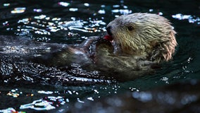 Long Beach and Monterey Aquariums to partner on sea otter surrogacy program
