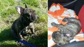 Glendale police find stolen truck with 5-month-old French bulldog puppy inside