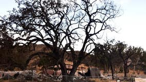 Farewell ceremony set for 'Witness Tree' at Paramount Ranch