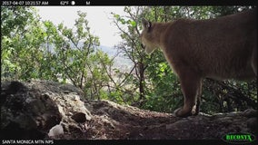 Director of Santa Monica Mountains Conservancy willing to spend own money to save mountain lions