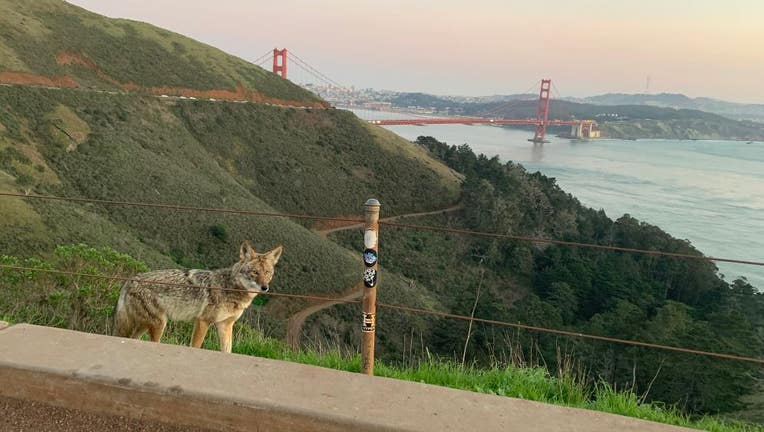 Canine distemper virus can infect a wide range of carnivores but gray foxes, raccoons and skunks are the most commonly affected species. This is a coyote on the Golden Gate Bridge.
