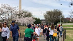 Visitors flocking to see the cherry blossoms at the Tidal Basin, despite social distancing warnings