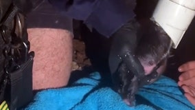 Days-old puppy rescued from drainpipe at home in Brisbane, Queensland
