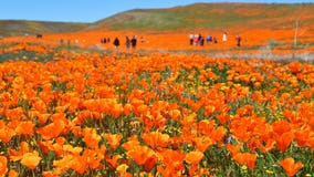 Antelope Valley California Poppy Reserve officials warn of parking citations
