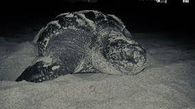 Vulnerable sea turtles flourishing during coronavirus restrictions in Florida