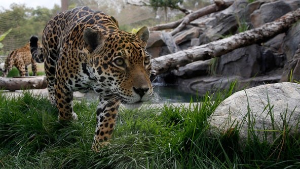 Los Angeles Zoo says new coronavirus protocols in place for cat species